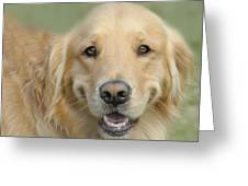 Golden Retriever Standard Greeting Card