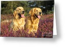 Golden Retrievers Dogs Greeting Card