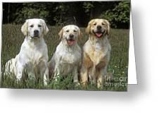 Golden Retrievers Greeting Card