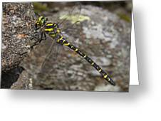 Golden-ringed Dragonfly Greeting Card