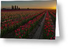 Golden Skagit Tulip Fields Greeting Card