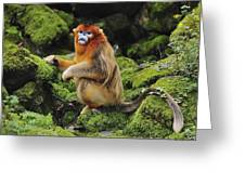 Golden Snub-nosed Monkey Male China Greeting Card