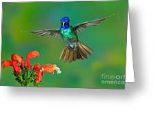 Golden-tailed Sapphire At Flower Greeting Card
