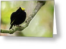 Golden-winged Manakin Greeting Card