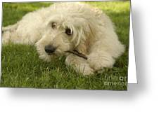 Goldendoodle Pup With Stick Greeting Card by Anna Lisa Yoder
