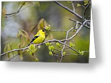 Goldfinch In Spring Greeting Card