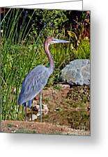 Goliath Heron By Water Greeting Card