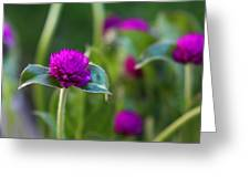 Gomphrena Flowers Greeting Card
