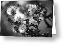 Gone To Seed Wild Aster Greeting Card