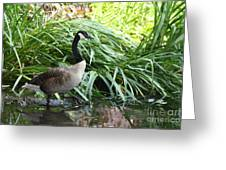 Goose Walking Back In For A Swim Greeting Card