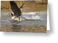 Goose Water Landing Greeting Card