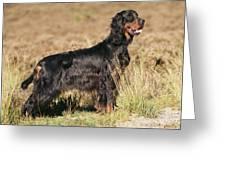 Gordon Setter Dog Greeting Card