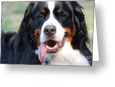 Gorgeous Bernese Mountain Dog Greeting Card