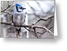 Gorgeous Blue Jay Greeting Card