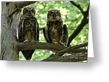 Gorgeous Great Horned Owls Greeting Card