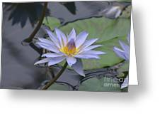 Gorgeous Pale Lavender Water Lily Greeting Card