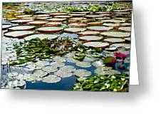 Gorgeous Water Lilies Greeting Card
