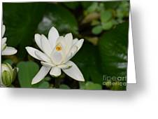 Gorgeous White Lotus Flower Blossom Greeting Card