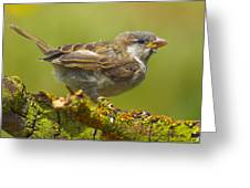 Gorrion House Sparrow Greeting Card