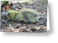 Gosling Napping  Greeting Card