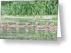 Goslings All In A Row Greeting Card