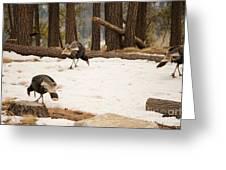 Gould's Wild Turkey Greeting Card