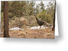 Gould's Wild Turkey Vii Greeting Card