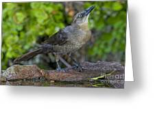Grackle Hen Greeting Card