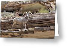 Grand Canyon Big Horn Sheep Greeting Card