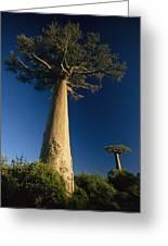 Grandidiers Baobab Trees Madagascar Greeting Card