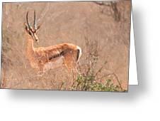 Grant's Gazelle Nanger Granti Greeting Card