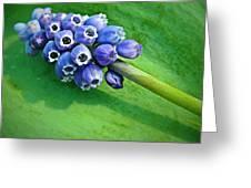 Grape Hyacinth Spike  Greeting Card