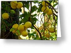 Grapefruits Greeting Card