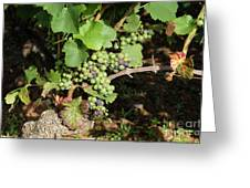 Grapevine. Burgundy. France. Europe Greeting Card