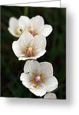 Grass Of Parnassus Greeting Card