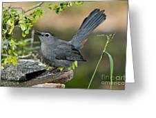 Gray Catbird Drinking Greeting Card