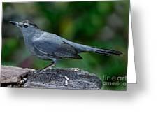 Gray Catbird Dumetella Carolinensis Greeting Card