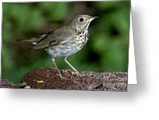 Gray-cheeked Thrush Catharus Minimus Greeting Card