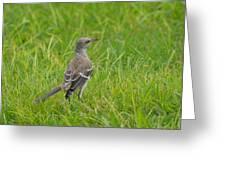 Gray-eyed Catbird Greeting Card