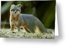 Gray Fox On Alert Greeting Card