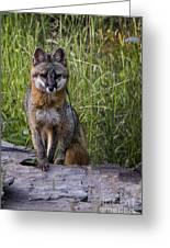 Gray Fox Posing Greeting Card