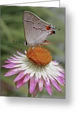 Gray Hairstreak And Straw Flower Greeting Card