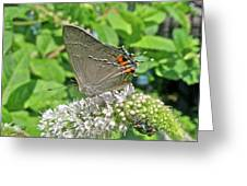 Gray Hairstreak Butterfly - Strymon Melinus Greeting Card