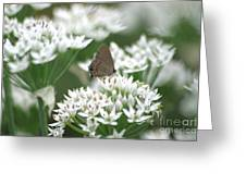 Gray Hairstreak On White Blossoms Greeting Card
