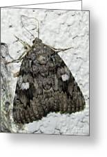 Gray Owlet Moth Greeting Card