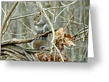 Gray Squirrel - Sciurus Carolinensis Greeting Card