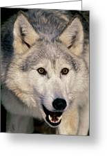 Gray Wolf Canis Lupus, Minnesota Greeting Card