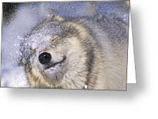 Gray Wolf Canis Lupus Shaking Snow Off Greeting Card