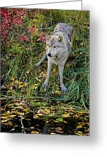 Gray Wolf Drinking Greeting Card