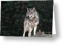 Gray Wolf Endangered Species Wildlife Rescue Greeting Card